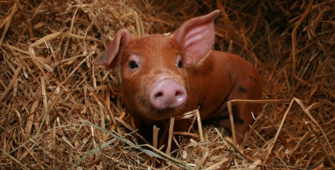 cropped-all-about-pigs-1.jpg