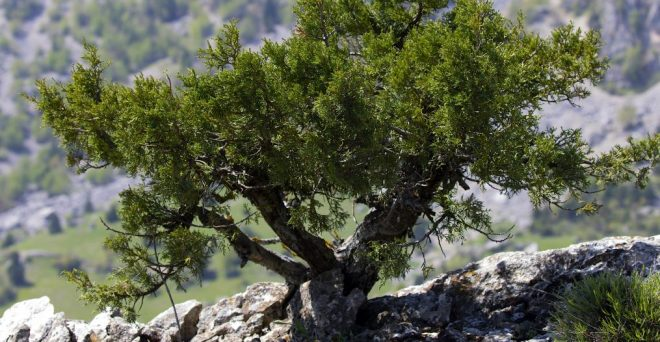 cropped-dwarf_juniper_tree_in_yenicekale_01-1.jpg