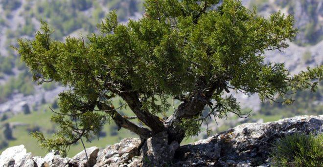 cropped-dwarf_juniper_tree_in_yenicekale_01-1.jpg
